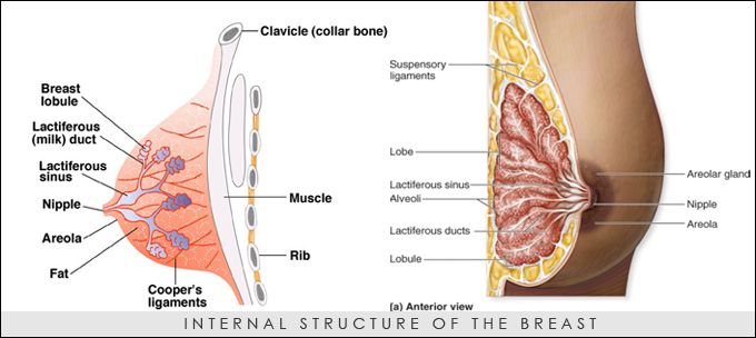 INTERNAL-STRUCTURE-OF-THE-BREAST