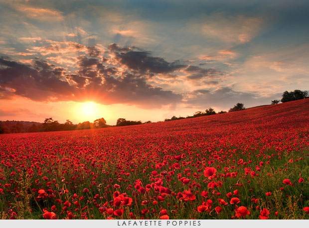 Lafayette-poppies