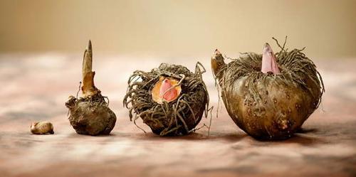 konjac-potato
